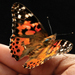 Shop for Painted Lady Butterflies at Carolina.com