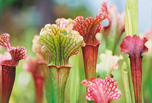 Shop Carnivorous Plants at Carolina.com